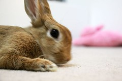 Ichigo san 799 (Ichigo Miyama) Tags: いちごさん。うさぎ ichigo san rabbitbunny netherlanddwarf brown ネザーランドドワーフ ペット いちご うさぎ rabbit