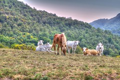 * Umbria : mucche libere insieme ai cavalli *  free cows together with horses * (argia world 1) Tags: umbria campo field ginestre cespugli bushes forest cows horse sky foresta mucche cavallo cielo paesaggio landscape