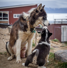 This husky pup loves its mum (802701) Tags: qaasuitsup qaanaaq greenland arctic circle nature dog dogs husky huskies puppy huskypuppy outdoors