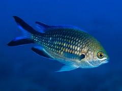 _A210185 (Entoñete) Tags: underwater mediterraneansea marinelife scubadive spain biology photography color horizontal behaviour animal plantasandanimals ocean saltwater fisheye fishvertebratedamselchromisfinsblue