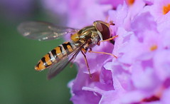 Episyrphus Balteatus (jdathebowler Thanks for 1.19 Million + views.) Tags: episyrphusbalteatus hoverfly episyrphus fly insect mature autofocus wowp1a3l1