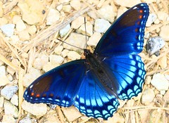 red-spotted purple at Fish Farm Mounds State Preserve 854A1582 (lreis_naturalist) Tags: redspotted purple butterfly fish farm mounds state preserve allamakee county iowa larry reis