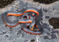 High Orange (David A Jahn) Tags: orange coralbellied ringnecked ringneck snake diadophis punctatus pulchellus sierras sierranevada