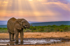 Addo Elephant (JTrojer) Tags: africa africa2016 wildlife africansafari sonya7r trojer landscape safari outdoors addo addonationalpark jtrojercom southafrica nature