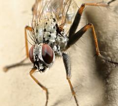 Fly III (Rotifer) Tags: insect macro fly montana libbymontana libbymt canon5dmkiv canonmpe65mm canonmpe65