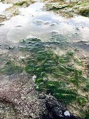 Fern Seagrass (Ravenblack7575) Tags: seagrass chekjawa intertidal shore
