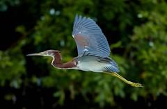 Jul 25 2017    AQ6I8489 (Lake Worth) Tags: animal animals bird birds birdwatcher everglades southflorida feathers florida nature outdoor outdoors waterbirds wetlands wildlife wings canoneos1dxmarkii