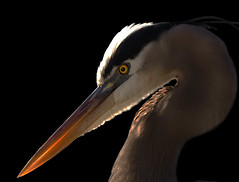 Great blue heron, Ardea herodias (John's Love of Nature) Tags: greatblueheron ardeaherodias johnkelley