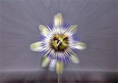 Sonnenrad (blasjaz) Tags: passiflora blasjaz sonnenrad