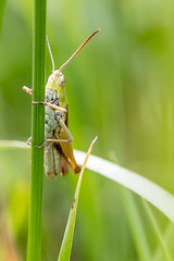 Grashüpfer (w.lichtmagie) Tags: insekt wiese grasshopper makro sommer grün canonefs60mm ngc