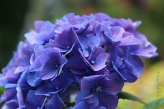 HYDRANGEA || HORTENSIA (Anne-Miek Bibbe) Tags: canoneos700d canoneosrebelt5idslr annemiekbibbe bibbe nederland 2017 hydrangea || hortensia bloei bloemen flowers flor flores bloom blumen fleur fleurs fiori fioritura blauw blue
