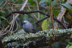 Grey cuckoo-shrike (supersky77) Tags: coracinacaesia greycuckooshrike cuckooshrike bird uccello samich kenya kerio elgeyo escarpment lichen licheni