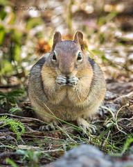 Golden-mantled Ground Squirrel 20170522_5711 (GORGEous nature) Tags: goldenmantledgroundsquirrel hoodriverco oregon spermophiluslateralis spring vertebrates feeding mammal mhnf may ©johndavis