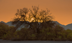 Sunset Thinking (Coisroux) Tags: sunset dusk desert mountains silhouette arizona d5500 nikond nikond5500 serene dramatic poetic golden luminescence glowing artistic trees sunsets night lightpollution