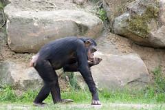 Zoo(m) Gelsenkirchen 19 (akumaohz) Tags: deutschland germany zoo tierpark nikon d3200 drausen outdoor gelsenkirchen zoom tier tiere animal animals säugetier tiefenschärfe schärfentiefe affe monkey schwarz black gemütlich relax entspannt