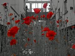 Poppy Colour Pop. (mcginley2012) Tags: colourpop selectivecolour cameraphone microsoftlumia650 poppy red architecture shoppingmall sliderssunday hss flower budnature seedpod urban