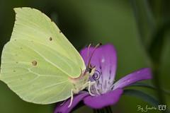 DN9A6471 (Josette Veltman) Tags: vlinders insects insecten butterfly macro nature natuur landgoed dehorte dalfsen landschapoverijssel