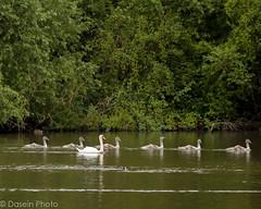 blog170716-3 (DaseinPhoto) Tags: wildlife birds connaughtwater cygnets daseinphoto essex muteswan nature