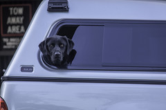 66/100: You lookin' at me? (judi may...mostly off for a while) Tags: windowwednesday window car vehicle labrador blacklabrador dunnedin newzealand dog canon7d