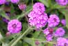 x20170713_150246 (Lovelli) Tags: roper road july 17 flowers