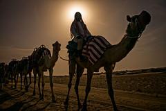 The Camel Caravan (Arabian Desert, United Arab Emirates 2017) (Alex Stoen) Tags: alexstoenphotography arabiandesert bestdestination camelcaravan camels desert dubaidesertconservationreserve emirates geotagged leicamptyp240 middleeast ngexpeditions nationalpark silhouette summiluxm35mm travel uae vacation caravan creativecomposition specialmoments