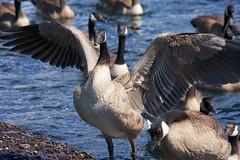 GasWorksPark_ 03 (hitomid) Tags: gasworkspark geese