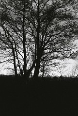 (giantbirds) Tags: 2014 blackandwhite scannedfromfilm film 35mm olympus olympusom1 om1 glastonbury starlings shapwickheath