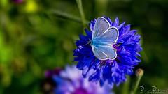 Common blue (Polyommatus icarus) (BraCom (Bram)) Tags: bracom commonblue polyommatusicarus icarusblauwtje vlinder butterfly insect korenbloem cornflower dof depthoffield herkingen goereeoverflakkee zuidholland nederland southholland netherlands holland widescreen 169 closeup bramvanbroekhoven nl