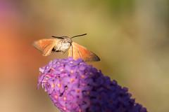Hummingbird (Sebo23) Tags: hummingbird taubenschwänzchen hawkmoth motte insekt insect licht bokeh bokelisious makro macro makrofotografie canon6d nature tamron70300