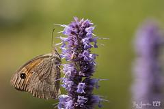 DN9A6582 (Josette Veltman) Tags: vlinders insects insecten butterfly macro nature natuur landgoed dehorte dalfsen landschapoverijssel