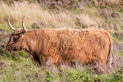 J7 - Highland Cattle (Darth Jipsu) Tags: highlandcattle skyeisland horns skye mammal cattle island animal cow highlands hebrids scotland royaumeuni gb