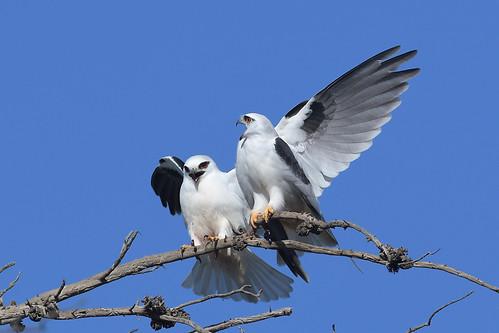 Black-shouldered Kite- Story #2