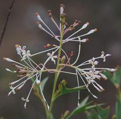 Grevillea manglesii ssp manglesii, southeast of Kalamunda, WA, 12/07/17 (Russell Cumming) Tags: plant grevillea grevilleamanglesii grevilleamanglesiimanglesii proteaceae kalamunda perth westernaustralia