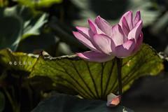 D66_0019 (brook1979) Tags: 台北市 植物園 荷 蓮 荷花 蓮花 葉 花 lotus flower