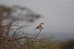 Early One Morning (The Spirit of the World) Tags: bird isabelinshrike fowl dew fog mist morning dawn africa kenya eastafrica safari amboseli nationalpark gamereserve gamedrive wildlife nature