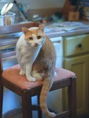 "Otis, in ""waiting"" mode. (rootcrop54) Tags: otis dilute orange ginger tabby white tallchair waiting lunch lunchtime neko macska kedi 猫 kočka kissa γάτα köttur kucing gatto 고양이 kaķis katė katt katze katzen kot кошка mačka maček kitteh chat ネコ"