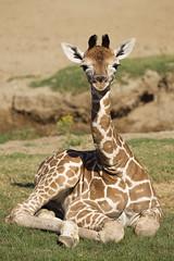 Three-week-old Giraffe Calf (San Diego Zoo Global) Tags: giraffe giraffes sandiego safaripark baby calf calves ungulates africananimals cuteanimals babyanimals