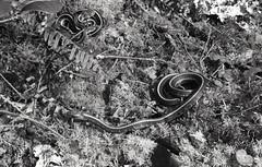 Snake eyes. (feedmyhungryeye) Tags: day2 rollfilmweek 2017 35mm bw fm2 ilford march nikon shortsands film hp5