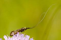 Nemophora metallica (Gareth Christian) Tags: d7000 nikon macro nemophorametallica kentwildlifetrust kwt fackendendown greenhill