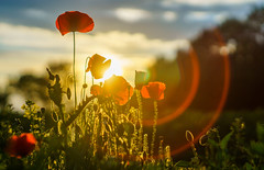 Poppy (Matt Bigwood) Tags: poppy poppies flare helios 442 sony a6000 wottonunderedge gloucestershire ozleworth 58mm f2 bokeh lensflare circles evening summer