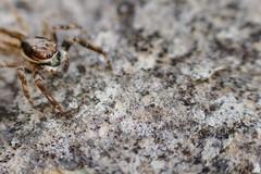 Spider (DeBonito) Tags: canon t5i 700d aranha spider aracnídeo macro