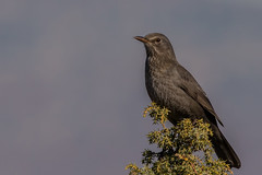 Common Blackbird (keynowski) Tags: commonblackbird karatavuk turdusmerula nature ngc animalplanet animal bird