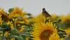 Linotte Mélodieuse - Common Linnet (Linaria cannabina) (Ziza !) Tags: oiseau oiseaux bird birds linotte linottemélodieuse linariacannabina commonlinnet