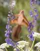 squirrel between flowers in split (Geert Weggen) Tags: beauty blossom blue closeup colorimage delphinium extremecloseup field flower flowerhead flowerbed fragility greencolor growth herb leaf macrophotography multicolored nature nopeople outdoors perennial petal photography plant publicpark scenicsnature season spice springtime summer vertical vibrantcolor eurasianredsquirrel autumn animalwildlife animalsinthewild winter woodland squirrel rodent mammal garden split spread yoga reaching sweden geertweggen geert geertweggenhardekozweden bispgården jämtland ragunda