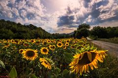 Torridi pomeriggi nelle colline del Perugino (Danilo Agnaioli) Tags: umbria natura girasoli estate italia cielo nuvole giallo