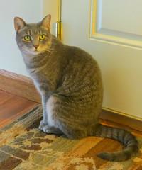 Millie 12 July 2017 5678Ri 5x6 (edgarandron - Busy!) Tags: millie graytabby cat cats kitty kitties tabby tabbies cute feline