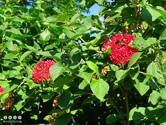 Unreife (rote) Früchte am Wolligen Schneeball (Viburnum lantana) - Immature (red) fruits of the wooly snowball (Viburnum lantana (warata) Tags: 2017 deutschland germany süddeutschland southerngermany schwaben swabia oberschwaben upperswabia schwäbischesoberland badenwürttemberg pflanze früchte wildpflanze strauch shrub blätter immaturefruits fruits woollysnowball viburnumlantana wolligerschneeball