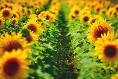 Soldiers of the sun (petrapetruta) Tags: flikrfriday abitoforder sunflower