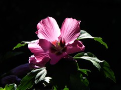 ibisco francese ;-) (fotomie2009) Tags: hibiscus syriacus flower fiore flora ibisco cinese pink althaea frutex rose sharon backlit controluce contrejour malvaceae