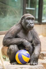 2017-07-16-11h05m57.BL7R5106 (A.J. Haverkamp) Tags: bal ball canonef100400mmf4556lisiiusmlens douli amsterdam noordholland netherlands verrijking enrichment zoo dierentuin httpwwwartisnl artis thenetherlands gorilla pobamsterdamthenetherlands dob27022012 nl